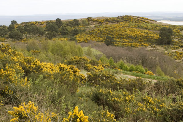 Gorse in bloom above the fairy glen - Rosemarkie