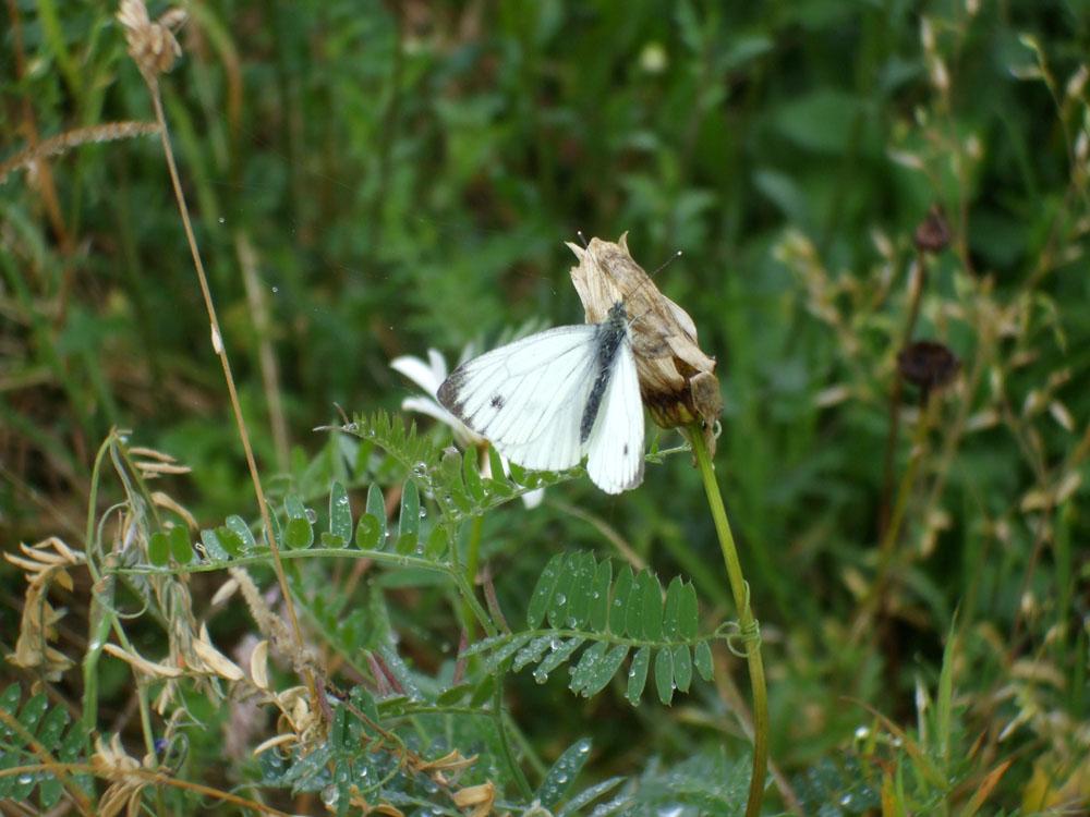 Butterfly in the Glen.