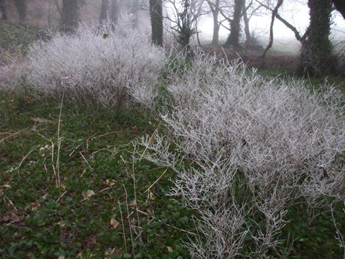 White Bushes.