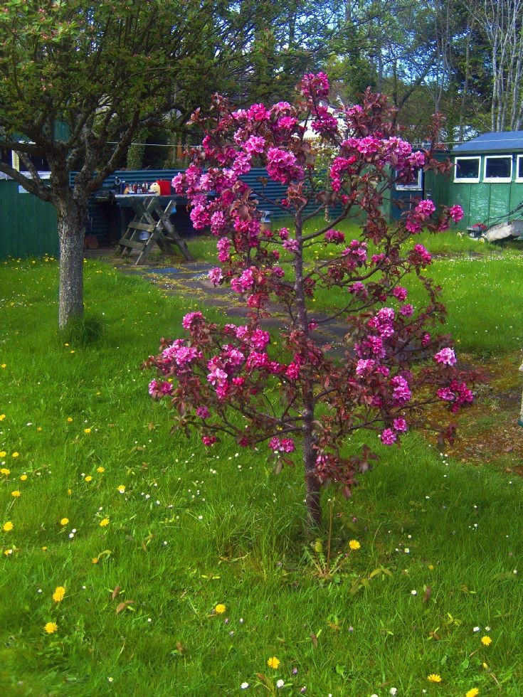 Unusual apple tree blossom