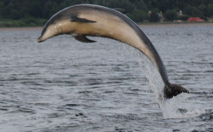 Breaching dolphin